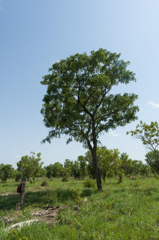 Barwood (Pterocarpus erinaceaus) tree, habit