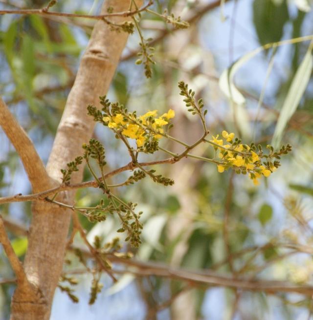 Barwood (Pterocarpus erinaceus) inflorescence