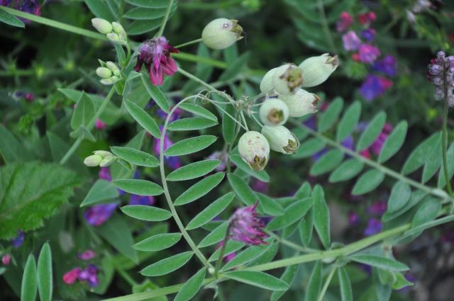 Purple vetch (Vicia benghalensis), habit, Spain