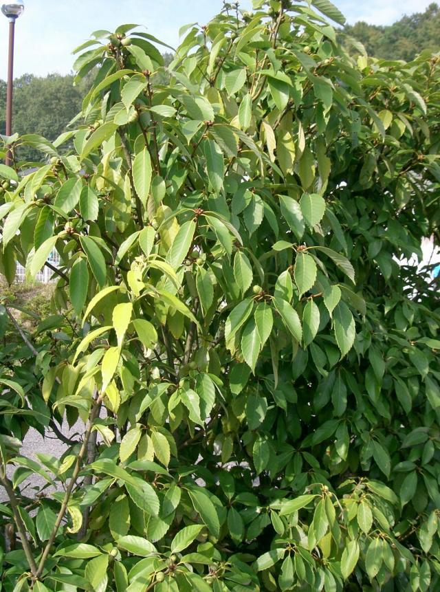 Blue Japanese oak (Quercus glauca), foliage, Osaka-fu, Japan