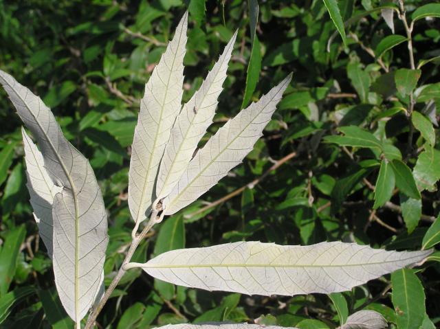 Banj oak (Quercus leucotrichophora), leaves, underside, Spain