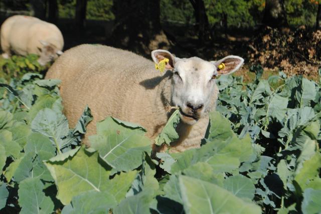 Sheep grazing rape forage