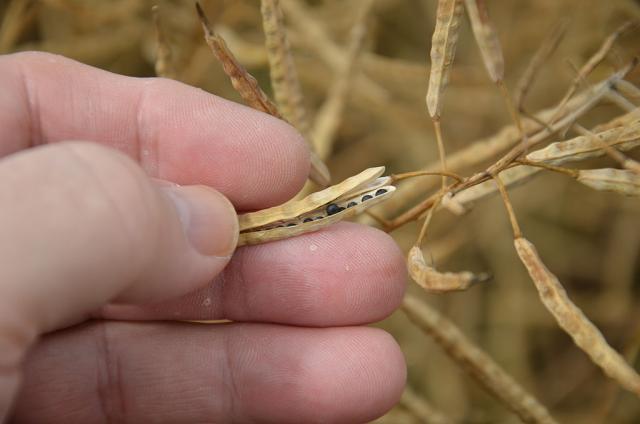 Rapeseed pod and seeds