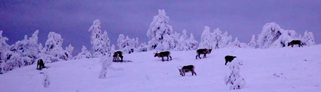 Reindeers, Finland