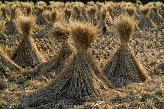 Rice straw on a field, Japan