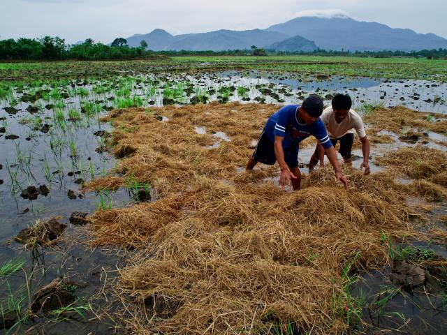Rice straw incorporated in the field as a source of organic material, Philippines