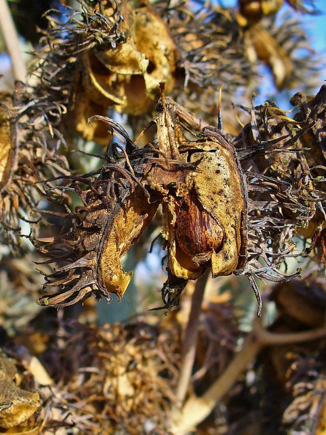 Castor (Ricinus communis) hulls and seeds