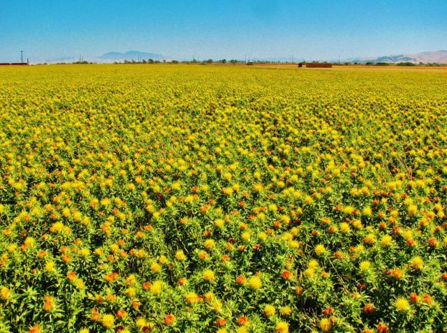 Safflower (Carthamus tinctorius) field