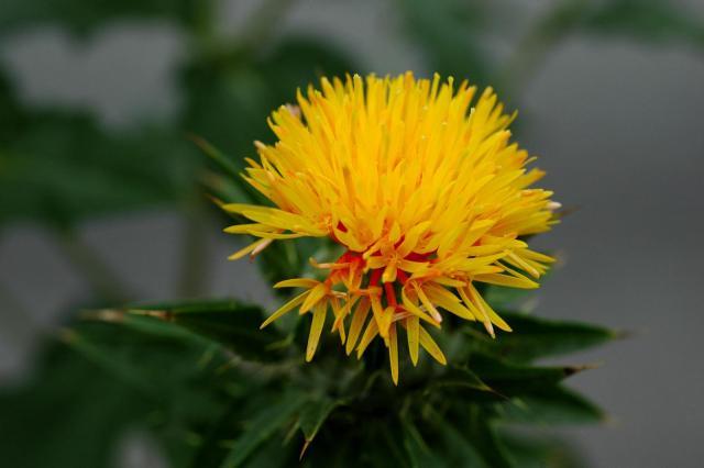 Safflower (Carthamus tinctorius), flower