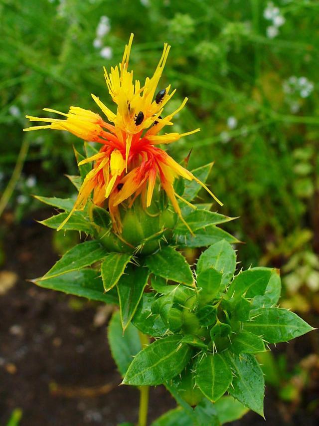 Safflower (Carthamus tinctorius), flower and leaves