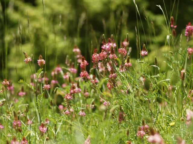 Sainfoin (Onobrychis viciifolia), France