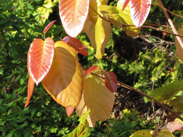Sal (Shorea robusta) leaves