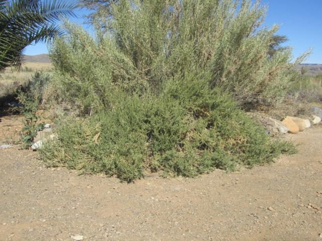 Lyebush (Salsola aphylla), habit