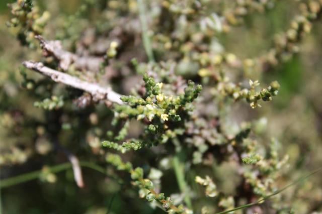 Salsola (Salsola glabrescens) habit