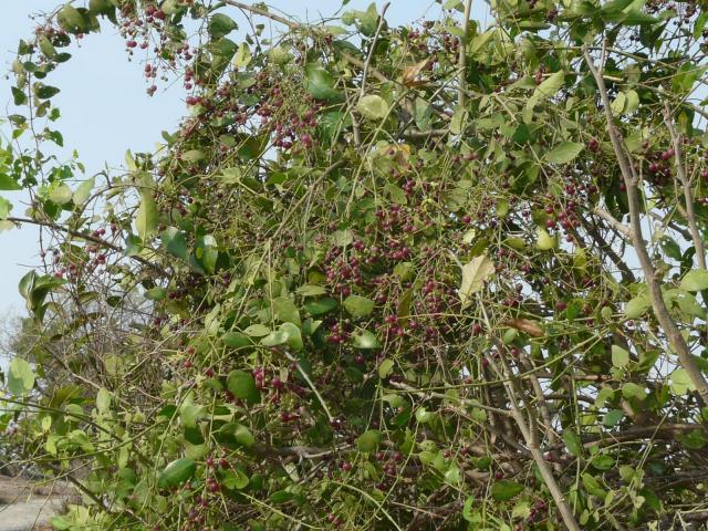 Saltbush (Salvadora persica), habit