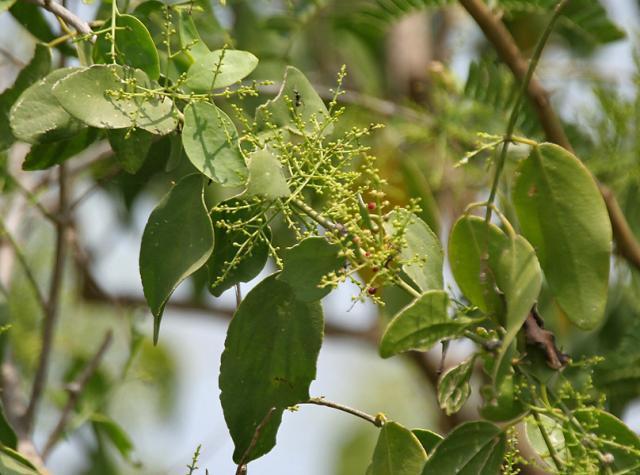 Saltbush (Salvadora persica), leaves and flowers