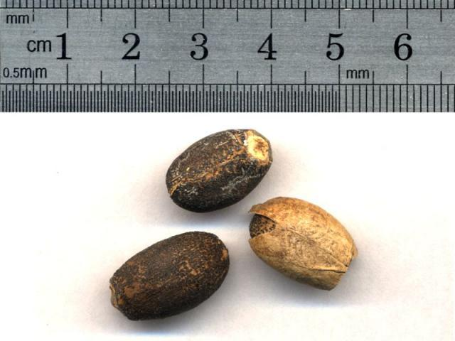 Jatropha (Jatropha curcas) seed