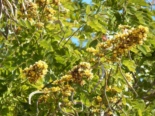 Siamese senna (Senna siamea) flowers, leaves and pods