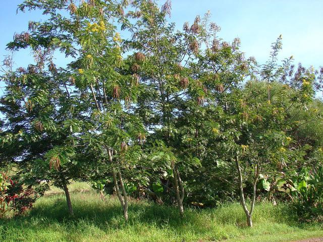 Siamese senna (Senna siamea) tree