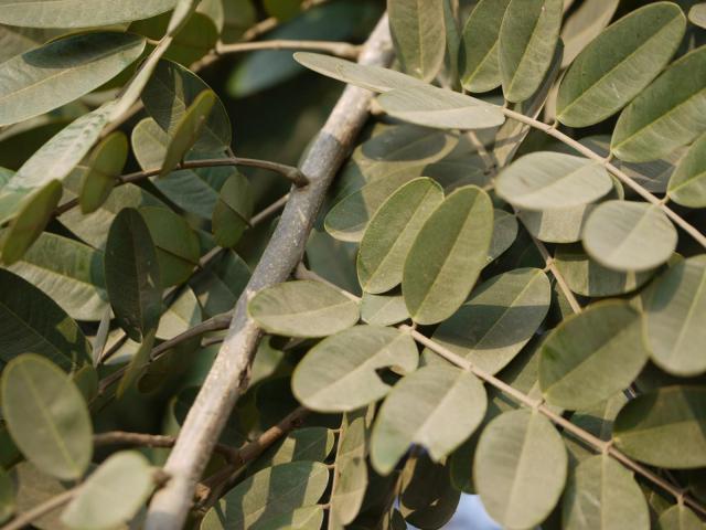Siamese senna (Senna siamea) leaves