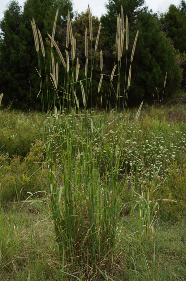 Golden millet (Setaria sphacelata) habit, Australia