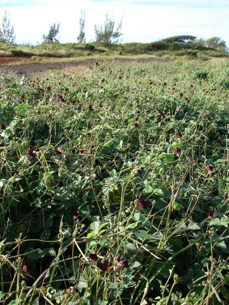 Siratro (Macroptilium atropurpureum) stand, trailing habit, Hawaii