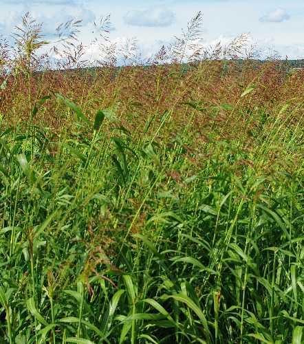 Columbus grass (Sorghum x almum), habit, USA