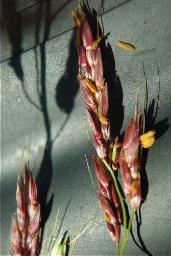 Columbus grass (Sorghum x almum), spike, Wisconsin, USA