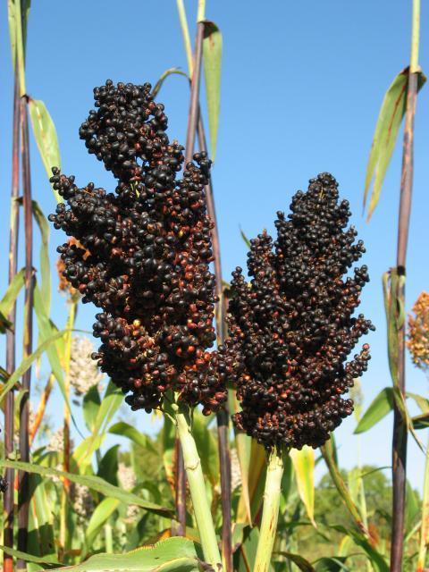 Sorghum, black seeds