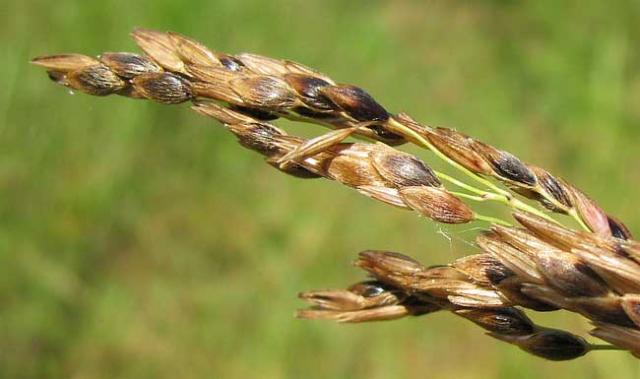Aleppo grass (Sorghum halepense) panicle, Mississipi, USA