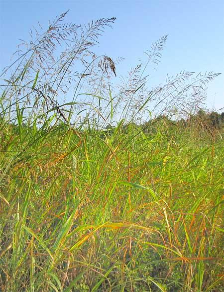 Aleppo grass (Sorghum halepense) thicket,