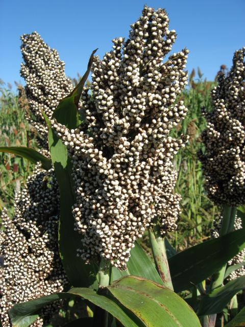 Sorghum, white seeds