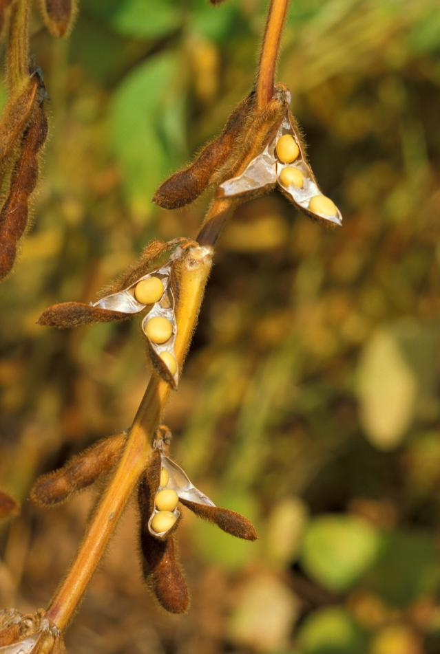 Soybean plant with seeds