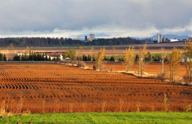 Soybean field, Ontario