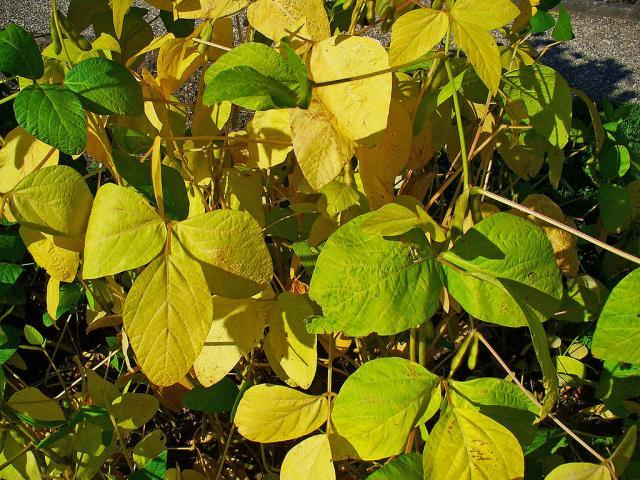 Soybean leaves