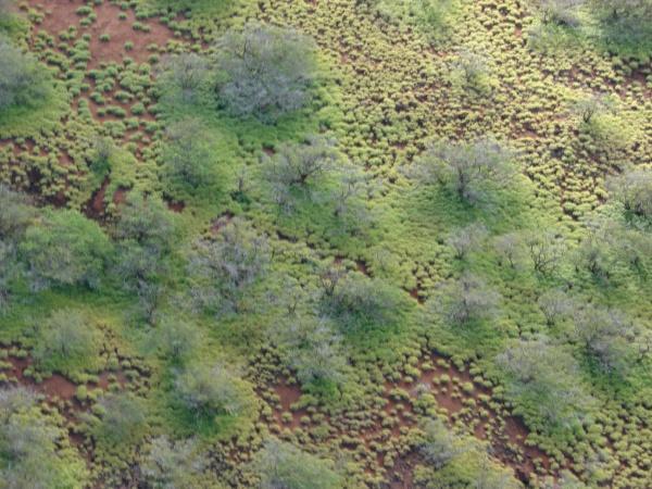 Spear grass (Heteropogon contortus), aerial view, Inland, Kahoolawe, Hawaii