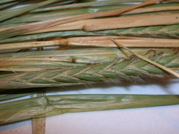 Spear grass (Heteropogon contortus), spike, Maui, Hawaii