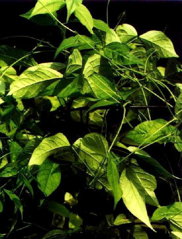 African yam bean (Sphenostylis stenocarpa) foliage