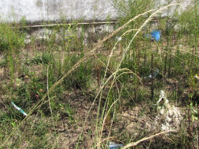 Sporobulus indicus, Central Vietnam