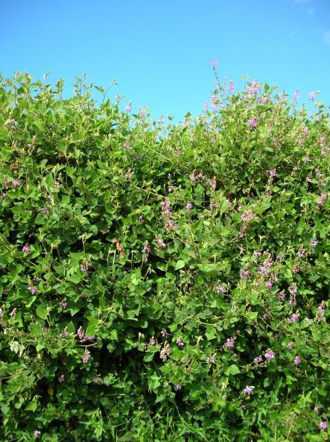 Greenleaf desmodium (Desmodium intortum), trailing and climbing vines, Maui, Hawaii
