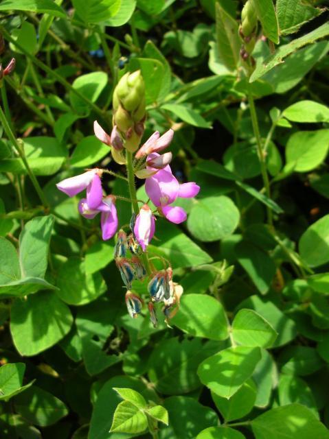 Greenleaf desmodium (Desmodium intortum), inflorescence, Maui, Hawaii
