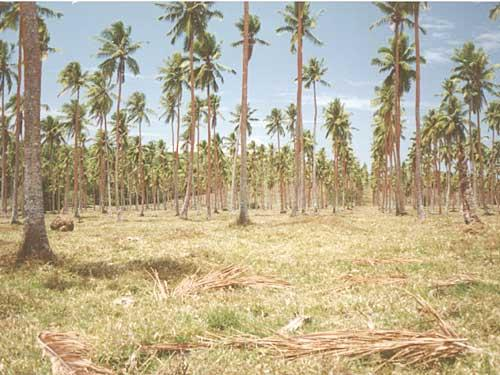 St Augustine grass (Stenotaphrum secundatum) in coconut plantation
