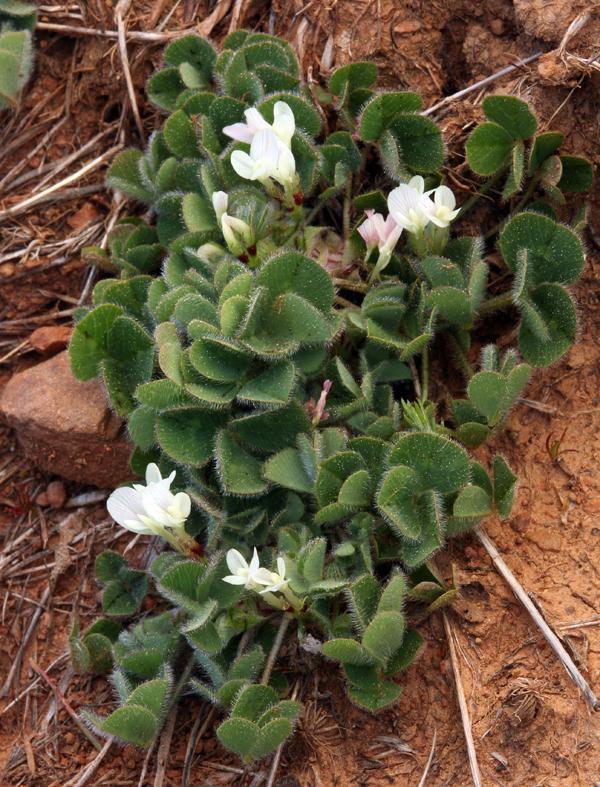 Subclover (Trifolium subterraneum), habit
