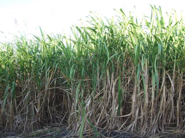 Sugarcane field, La Réunion