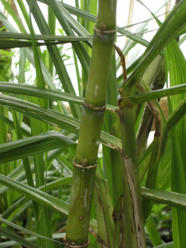 Sugarcane, stem and leaves, Kew Gardens, London