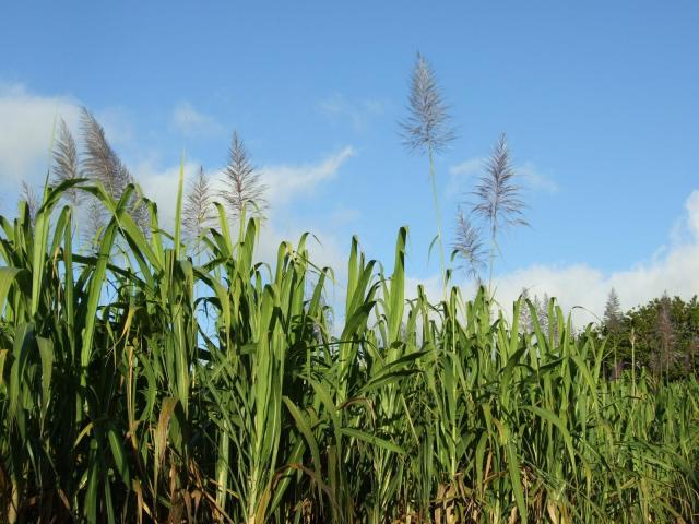 Sugarcane plants, La Réunion