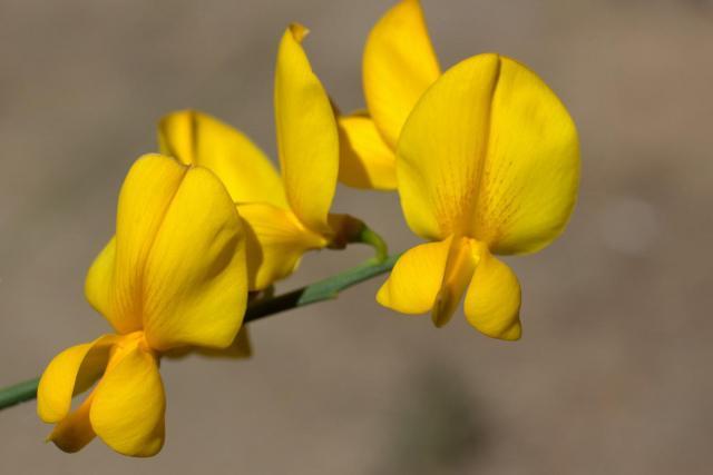 Sunn hemp (Crotalaria juncea), flower