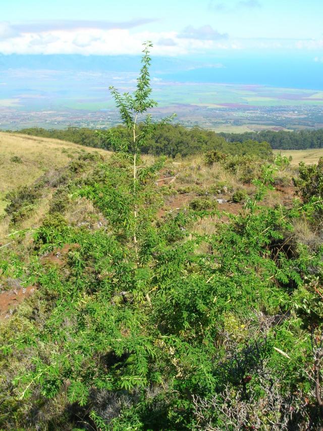 Tagasaste (Chamaecytisus prolifer), habit