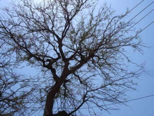 Tamarind tree during summer, India