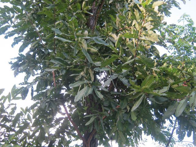 Asna (Terminalia elliptica) foliage